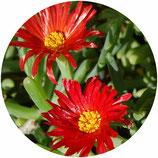 """Lampranthus spectabilis """"Russus"""""""