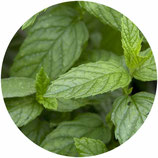 "Mentha spicata ""Moroccan"""