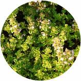"""Thymus x citriodorus """"Golden King"""""""