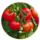 Tomate Cherry (Solanum lycopersicum)