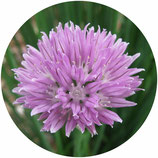 Allium schoenoprassum