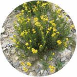 Senecio nevadensis subsp. malacitanus