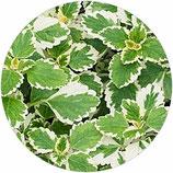 Planta del Incienso (Plectranthus coleoides)