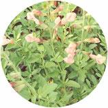 """Salvia """"Ribambelle"""""""