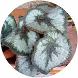 "Begonia ""Escargot"""
