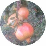 Granado mollar (Punica granatum)