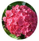 "Hydrangea macrophylla ""Red Baron"""