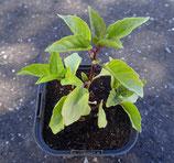 固定種苗 シナモンバジル
