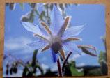 Postkarte: Borretschblüte