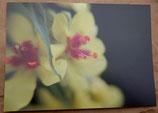 Postkarte: Königskerzenblüte