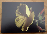 Postkarte: Nachtkerzenblüte