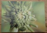 Postkarte: Ringelblume (Samenstand)