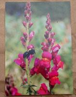 Postkarte: Löwenmäulchen /Holzbiene