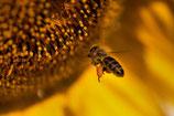 Biene mit Sonnenblume