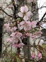 ヒマラヤ桜苗