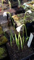 Eleorchis japonica - white