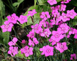 Pflanzenset: Wilde Bodendecker
