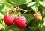 Himbeeren die im Sommer Früchte tragen
