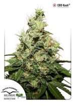 CBD KUSH ® * DUTCH PASSION FEM