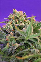 SWEET CHEESE * SWEET SEEDS FEMINIZED