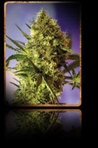 BIG DEVIL AUTO * SWEET SEEDS FEMINIZED