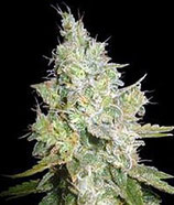 CRITICAL KALI MIST * DELICIOUS SEEDS SATIVA  FEM