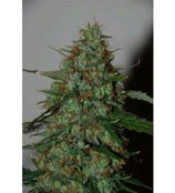 WILD THAILAND RYDER AUTO * WORLD OF SEEDS  FEM