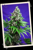 CREAM MANDARINE F1 FAST VERSION * SWEET SEEDS FEMINIZED