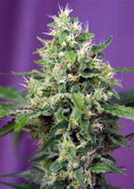 BLOW MIND AUTO * SWEET SEEDS FEMINIZED