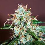CRITICAL NEVILLE HAZE 2.0* DELICIOUS SEEDS SATIVA  FEM