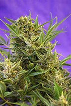 DOUBLE WHITE * SWEET SEEDS FEMINIZED