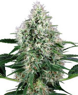 POWER PLANT AUTO * SENSI WHITE LABEL FEM
