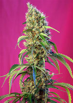 BLACK JACK CBD ® * SWEET SEEDS FEMINIZED
