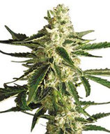 WHITE DIESEL HAZE AUTOMATIC * WHITE LABEL SENSI  FEM