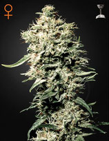 WHITE RHINO * GREEN HOUSE FEMINIZED