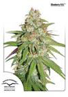 GLUEBERRY OG * DUTCH PASSION FEMINIZED