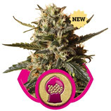 BUBBLEGUM XL ROYAL QUEEN SEEDS - FEMMINIZZATA