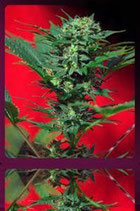 AUTO SPEED DEVIL * SWEET SEEDS FEMINIZED