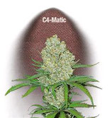 C4 MATIC * FAST BUDS SEEDS AUTO FEM