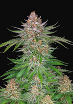STRAWBERRY PIE AUTO * FAST BUDS SEEDS - FEM