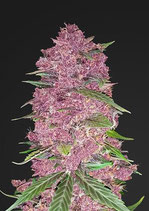 PURPLE LEMONADE * FAST BUDS SEEDS FEM