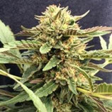 CBD THERAPY * CBD- CREW SEEDS FEM