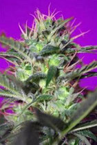 BOTAFUMEIROS * SWEET SEEDS FEMINIZED