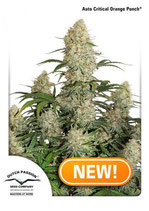 CRITICAL ORANGE PUNCH ® * DUTCH PASSION FEMINIZED