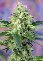 CRYSTAL CANDY * SWEET SEEDS FEMINIZED