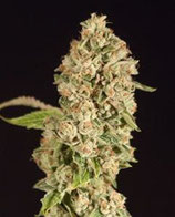 OG REEK'N REGULAR * DEVIL'S HARVEST SEEDS REG