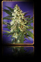 FAST BUD AUTO * SWEET SEEDS FEMINIZED