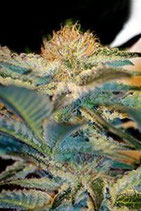MOHAM RAM * SWEET SEEDS FEMINIZED
