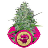 SKUNK XL - ROYAL QUEEN SEEDS - FEMMINIZZATA