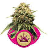 SPECIAL QUEEN 1 - ROYAL QUEEN SEEDS - FEMMINIZZATA